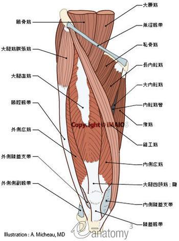 Musclesofthighanatomyatlasmuscularl
